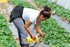 spouse of a H-1B visa holder working in a tomato farm